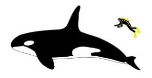 Orca commons wikimedia